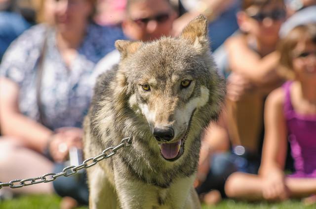 big wolf run
