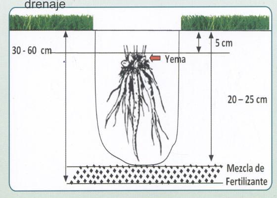 Plantación Rizomas