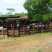 222 cattle yard