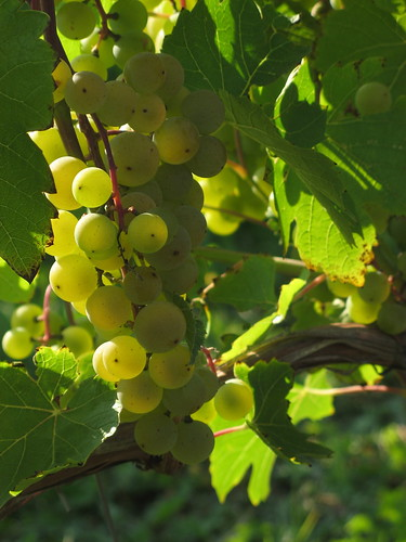 Sun Kissed Grapes by susanvg