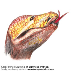 How to Draw a Burmese Python with Color Pencils [Time Lapse] It is one of the largest specie of snake in the world & its scientific name is Python bivittatus. Step by Step Tutorial on http://bit.ly/2aHaqR5 Total Time: 2 hours Pencils: HB, 2B, 4B, Color Pe