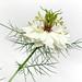 A beautiful white nigella by VillaRhapsody