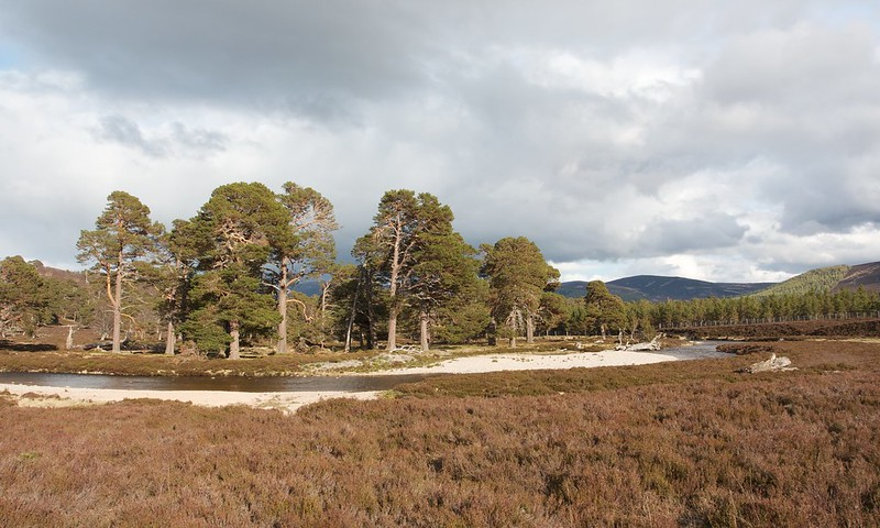 Pines near the Linn of Dee