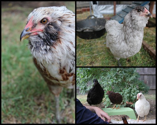 20120706. Beaker, new gray Easter Egger, and the three wees.