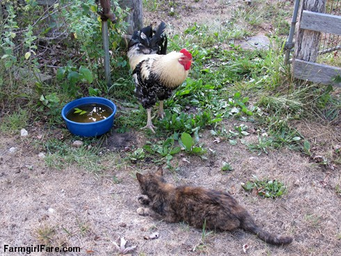 (18-7) Topaz and Mr. Fancy Pants hanging out at the water dish - FarmgirlFare.com