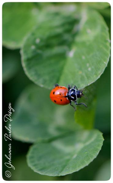 Ladybug-on-Clover