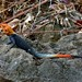 Small photo of Common Agama (Agama agama) male