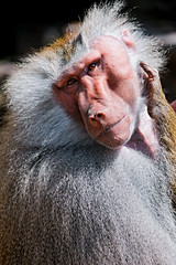 Male baboon with tilted head