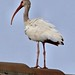 White Ibis on rooftop sharpened 20120724