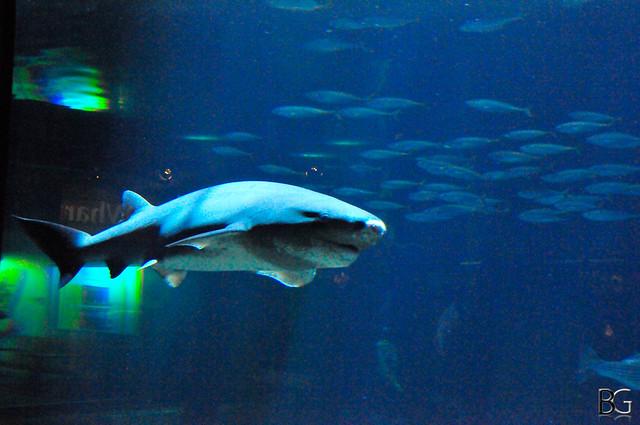 Broadnose Sevengill SharkBroadnose Sevengill Shark