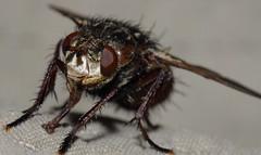 Tachina fera (Diptera) - Igelfliege