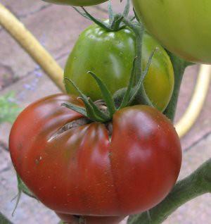 Erste reife Tomate 2012