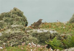 Meadow Pipit on south coast of Skomer
