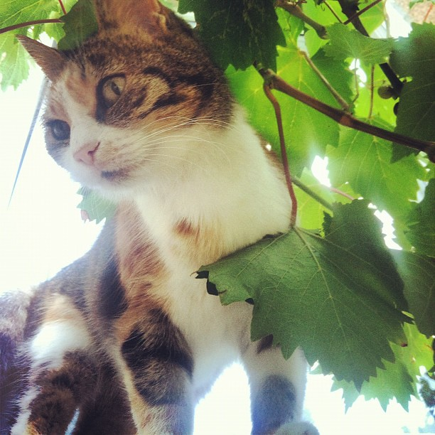 Муська в винограде :) #andreevka #cat #summertime #grapes #sun #sevastopolcat