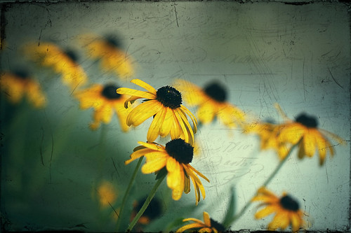 forget-me-not...  yes, I know they are black-eyed-Susans...  :-)