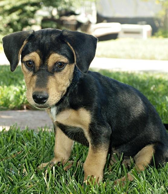 Rescue Dog - Dachshund/Shepherd Mix - Puppy - My name is ...