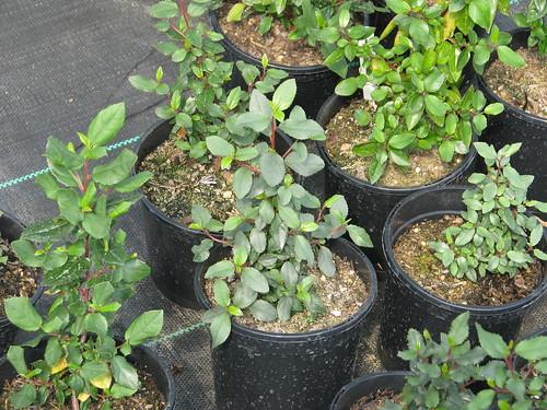 Rhamnus ludovici-salvatoris