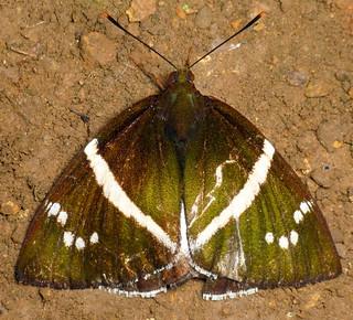 Moth, Castniidae