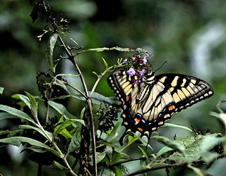 Watercolored Monarch
