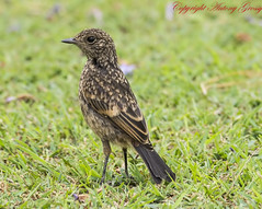 Pied Bushchat (Female)