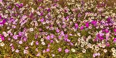 saudi flower bed