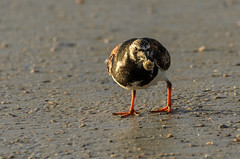 Ruddy Turnstone_7032.jpg by Mully410 * Images