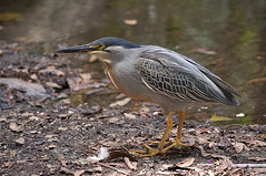 cinclidae(0.0), green heron(0.0), sandpiper(0.0), animal(1.0), nature(1.0), fauna(1.0), close-up(1.0), beak(1.0), bird(1.0), wildlife(1.0),
