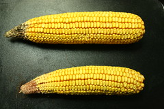 dish(0.0), sweet corn(1.0), food grain(1.0), corn kernels(1.0), yellow(1.0), vegetarian food(1.0), maize(1.0), corn on the cob(1.0), produce(1.0), food(1.0), corn on the cob(1.0), cuisine(1.0),