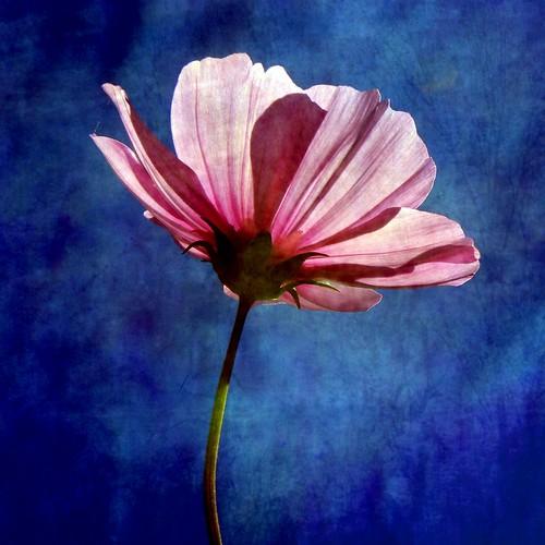 無料写真素材, 花・植物, 秋桜・コスモス