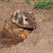 Dirty Badger - 8500b