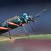 IMG_4051 Darkling beetle. by omtelsimon