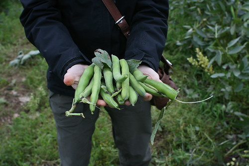 Broad Bean Love