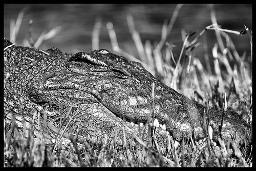 Crocodile, Chobe Nationalpark, Botswana