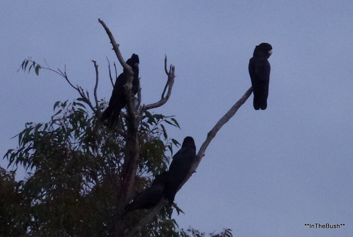 Red-tailed Blacks - just enjoying the scenery