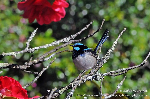Superior Fairy-wren