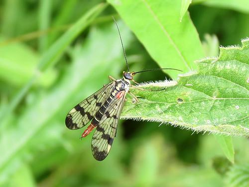 Scorpion Fly sp.