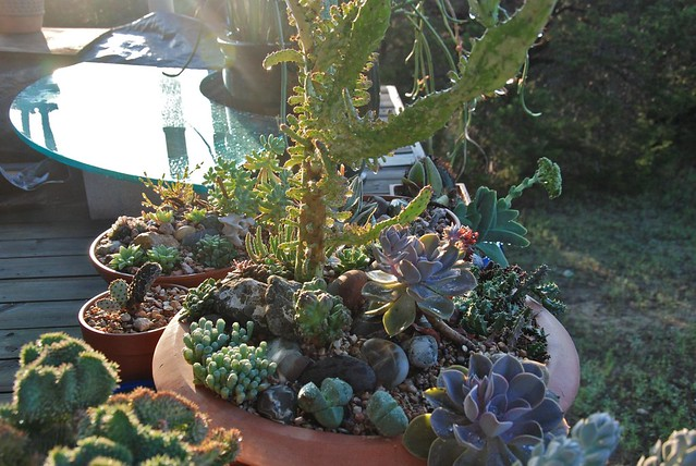 My succulents partying in the dew