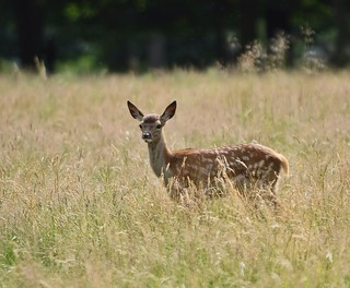 Bambi, Richmond Park, London