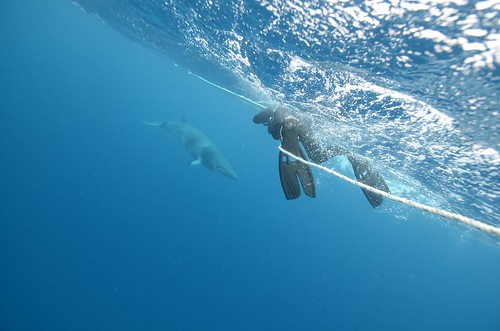 Swimming with dwarf minke whales