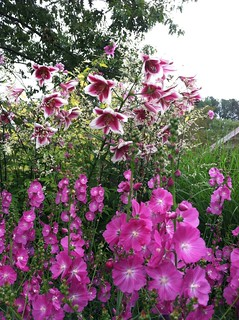 Lilium 'Silk Road' with Sidalcea