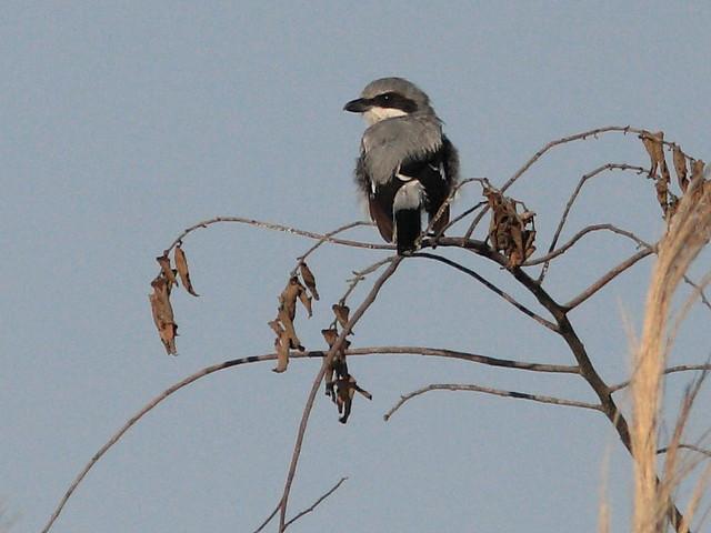 Loggerhead Shrike 20120731