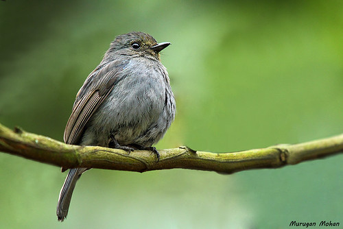 Nilgiri Flycatcher Female by muruganmohan
