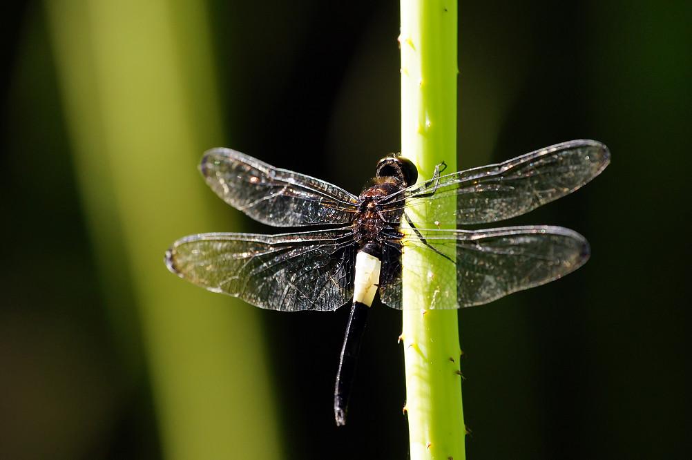 26-黃紉蜻蜓雄-1