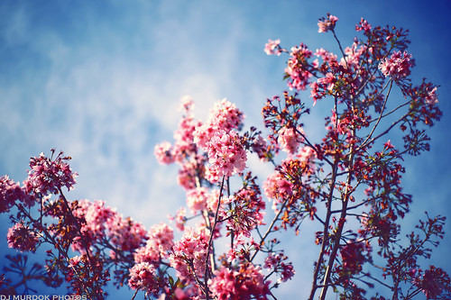 Cherry blossoms in the sky..