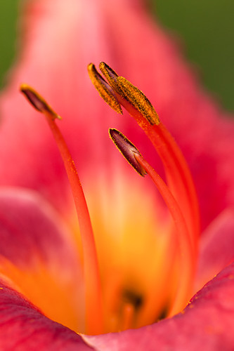 Lily in Macro