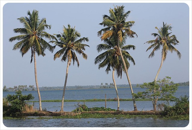 backwaters kerala palm trees