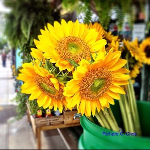 Sunflowers along Kingston Road by rchoephoto