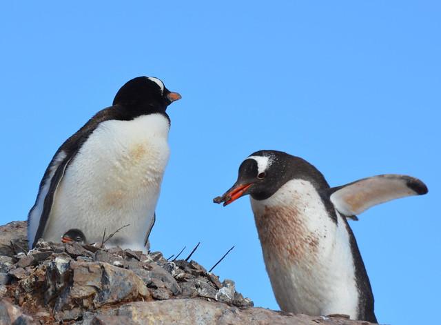 gentoo building their nest