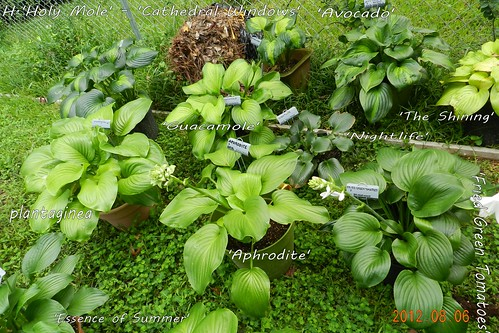 Lots of fragrant hosta in this pic