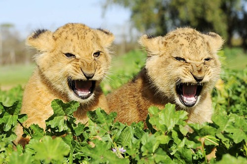 lion cubs shaddup